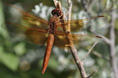 Flame skimmer dragonfly. Libellula saturata