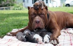 Gentle giant: Hulk, the world's biggest pitbull, is seen cuddled up to his six-day-old pup. Hulk The Pitbull, Big Pitbull, Pitbull Pups, Mini Puppies, Cute Puppies, Cute Dogs, Dogs And Puppies, Baby Puppies, Dog Humor