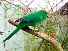 Perico Maorí Montano (Cyanoramphus malherbi) --> De 19 a 22 cm de longitud y un peso entre 40 y 52 gramos para los machos y entre 30 y 41 gramos para las hembras.  son pequeños pericos de color verde brillante, provistos de una larga cola y con un lavado de color verde azulado en vientre y pecho.