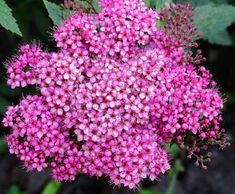 Make a splash in your garden with SpireaJaponica 'Double Play Red' - The Globe and Mail Spirea, Japonica, Garden, Plants, Front Yard, Flowers