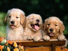 Golden retriever puppies are the most adorable creatures in the world