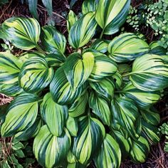"Hosta - Rainbow's End. Full to partial shade.  Zone 3 - 9.  Height:  11"".  Width:  21"".  Soil:  average & moist"