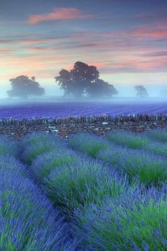 Mist and lavender