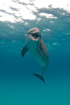 The dolphin is the only mammal that gives birth with the tail first instead of the head.