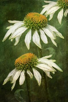 Echinacea | Flickr - Photo Sharing!