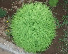 Kochia Trichophylla, also known as Burning Bush, grows from flower seeds and turns brilliant red in fall. kochia scoparia seeds can be started indoors or outdoors. Garden Yard Ideas, Garden Planters, Landscape Plans, Landscape Design, Growing Raspberries, Burning Bush, Aquaponics Fish, Organic Gardening Tips, Gardens