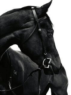 tumblr_mctm5u3eC51rapqoxo1_500 Beautiful Black Horse...
