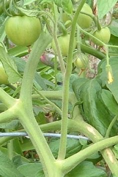 Gardening in South Florida: How to Grow Tomatoes Year Around
