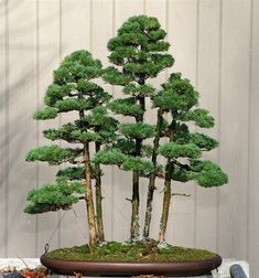 This style of bonsai is meant to mimic a forest. There are various styles of Bonsai & different countries have their own unique style. Bonsai Trees That Will Change Everything You Thought You Knew About Bonsai Trees Bonsai Tree Care, Indoor Bonsai Tree, Bonsai Plants, Bonsai Garden, Ficus Microcarpa, Plantas Bonsai, Small Trees, Small Plants, Ikebana