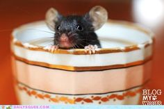 Mouse in a teacup, so much cuter than Disney!