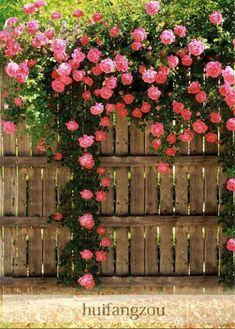 SEMENTES LIVRES da SEMENTE do TRANSPORTE LIVRE 100 que escalam plantas cor-de-rosa das sementes passam a semente de escalada das rosas Sementes Potted da flor Home da planta da flor / jardim