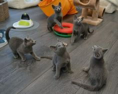 RB Kitten Playground! Russian Cat, Russian Blue, Blue Cats, Grey Cats, Cute Cats And Kittens, Kittens Cutest, Baby Animals, Cute Animals, F2 Savannah Cat