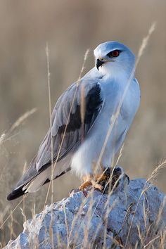 Black-shouldered Kite.. Bird photographs from Southern Africa