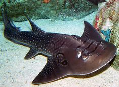 #SharkOfTheDay: Bowmouth Guitarfish are caught as bycatch, & often retained 4 fins & meat