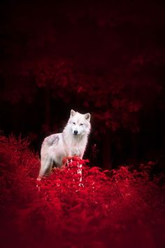 """Wolf in Wonderland.""                                      (Photo By: Dustin Abbott. ~ Website)"