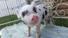 Bacon Bits Mini Piglets  www.baconbitsminipigs.com
