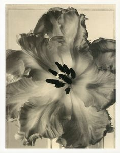 Parrot Tulip _ Tom Baril Botanical Prints from Botanica