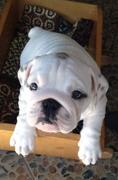 #English #Bulldog #pup