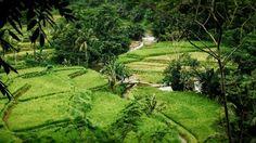 Paddy field on a hillside of Mount Muria.  Plajan Village Jepara Regency Central Java Indonesia.  Plajan Village is a new tourist destination in Jepara in addition to the popular Karimunjawa Islands.  One hour east of Jepara City Plajan village is located on a hillside of Mount Muria around 200-500 metres above sea level.  Foto: @jemmy_s  #exploreplajan #desawisata #pesonapakisaji #visitjepara #jatenggayeng #kompasnusantara