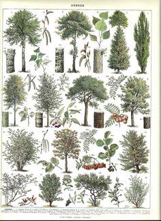 TREES - Vintage BOTANICAL Poster - French Color Illustration - 1930.