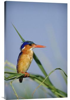 """Malachite Kingfisher Perching on Reeds, Kenya. Buy Feng Shui vertical fine art photo Malachite Kingfisher Perching on Reeds, Kenya  by Tim Fitzharris. It is available for sale in our wall art birds photoscollection. This inspirational ready-to-hang stretched giclee, 24"""" x 36' x 1.5', is printed on high quality artist grade canvas with a gallery wrap finish. In Chinese cultures kingfishers are symbols of feminine beauty. We will ship thisFeng Shui painting in 7-10 days."""