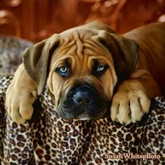 Boerboel puppy -- Oh my goodnes, look at his adorable bb, @codyhenkes
