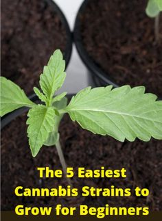The 5 Easiest Cannabis Strains to Grow for Beginners  Medical Marijuana Project Ideas  Project Info:  MaritimeVintage.com Medical Marijuana Info www.MaritimeVintage.com