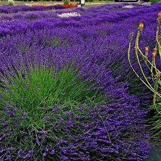 50+ Lavender Hidcote Flower Seeds ,Under The Sun Seeds