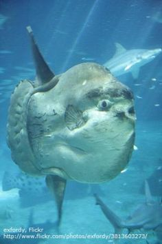 10 Facts About the Large (and Strange!) Ocean Sunfish: Ocean sunfish are found throughout the world.