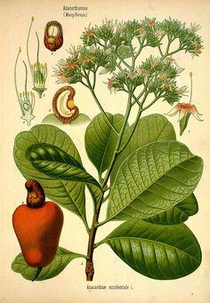 31513 Anacardium occidentale L. / Köhler, F.E., Medizinal Pflanzen, vol. 3: t. 51 (1890)
