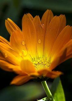 Calendula Blossom Greeting Card for Sale by Algirdas Gelazius Flora Flowers, Flowers Nature, Yellow Flowers, Birth Flowers, Calendula, My Flower, Flower Power, Amazing Flowers, Beautiful Flowers