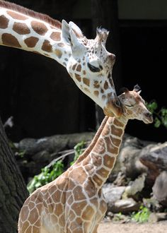 Cutest calf ever. A new baby giraffe at @Brooke Graham Zoo! Click for more photos and a video of the giraffe being born.