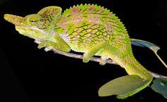 Chameleon in Madagascar, by Todd Gustafson, Gustafson Photo Safari