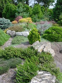 Rock garden , dwarf conifers