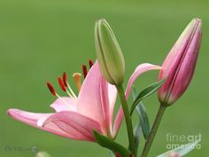 Asiatic Lily Named Rosellas Dream Photograph - Asiatic Lily Named Rosellas Dream Fine Art Print