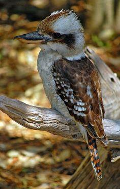 Living In Adelaide, Australian Parrots, Bird Pictures, Horse Pictures, Crazy Bird, Kinds Of Birds, Little Birds, Kingfisher, Bird Watching
