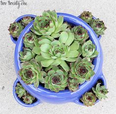 Growing Hens and Chicks {Succulents}- I have Hens and chicks, I like this strawberry planter better than my basic wooden box.