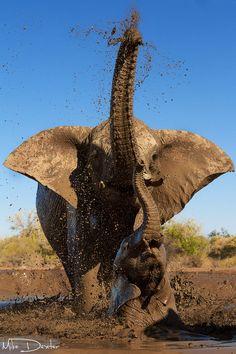 Elephant Mama Baby - Taking a Mud Bath in Botswana, Africa