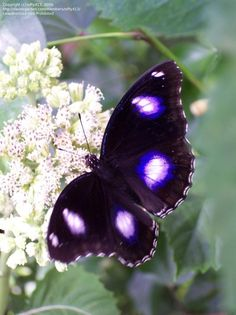 Full size image of Common Eggfly, Great Eggfly, Blue Moon Butterfly (Hypolimnas bolina)