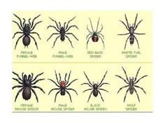 poisonous spiders...OMG I HATE SPIDERS