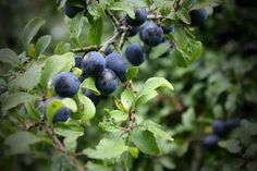 SLOE /slow/ n. another name for the blackthorn, or the fruit it bears -- Sloes by NeilG199, via Flickr Sloe Berries, Food Log, Word Of The Day, Bears, Foods, Fruit, Food Food, Food Items, Food Diary