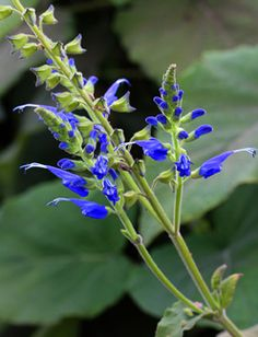 Salvia macrophylla 'Upright Form' Everybody & every garden needs some big, luxurious, tropical-looking leaves like these – so useful for visual balance – especially us cottage gardeners with all of our bouncy blooms! And how can you resist these intensely hued, true royal blue flowers!