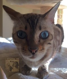 Bengalkatzen-marble-snow-beautiful cats-Katzenblog Egyptian Mau, Beautiful Cats, Marble, Snow, Animals, Pictures, Pretty Cats, Animales, Animaux