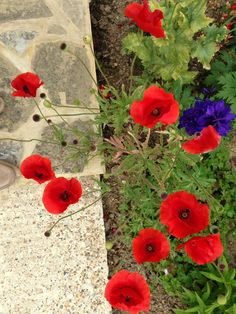Poppies by the back door