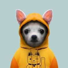 Chihuahua Dog - Canis Lupus Familiaris