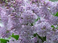 Go down to Kew in lilac time, lilac time...