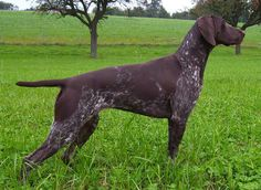 German Shorthaired Pointer - SAKC Dogs Wiki