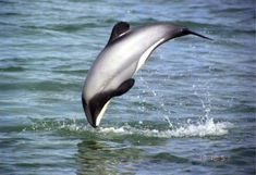 Hector's dolphin (Cephalorhynchus hectori) is the best-known of the four dolphins in the genus Cephalorhynchus and is found only in New Zealand.
