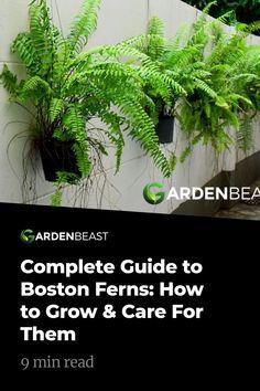 Cheap Garden Plants, Garden Plants Vegetable, Backyard Plants, Garden Landscaping, Growing Flowers, Planting Flowers, Fern Planters, Ferns Care, Boston Ferns