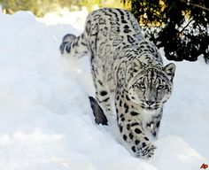 Snow leopard, a glorious creature and one I hope doesn't disappear ...